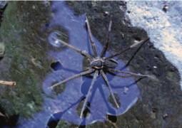 عنكبوت يصطاد السمك