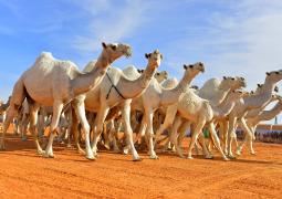 المملكة العربية السعودية تعلن إنطلاق مهرجان جائزة الملك عبدالعزيز لمزايين الإبل