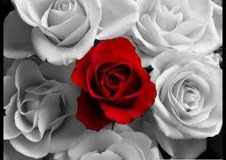في عيد الحب ماذا عن الورود البيضاء